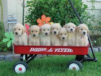 Puppiesinawagon_2